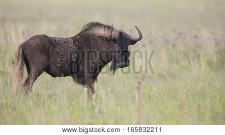 Black wildebeest male standing on an open grass plain