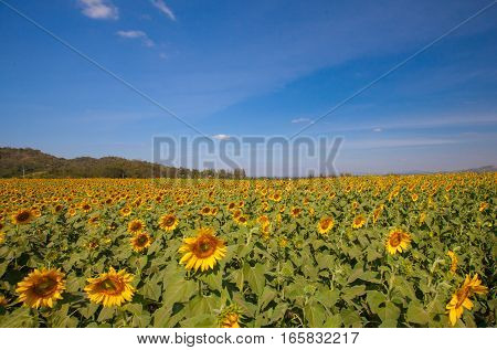 Landscape of Sunflower field at noon with sky