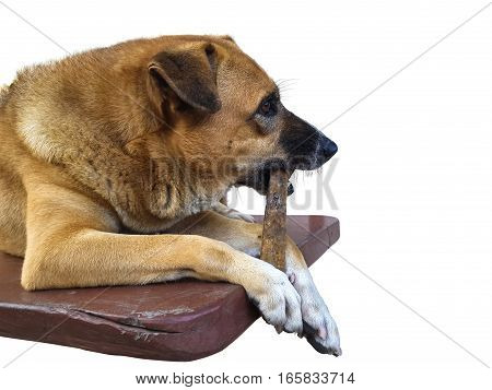 Big brown crossbreed dog lying chewing rawhide dogchew treat on wood plank isolated on white background.