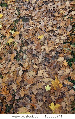 yellow autumn leaves on the ground after the rain autumn oak