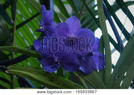 A purple Orchid flower growing in the garden