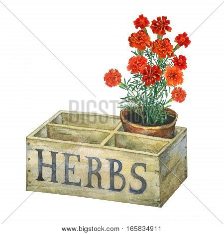 Flower pot with marigolds in an old wooden crate garden. Hand drawn watercolor painting on white background.