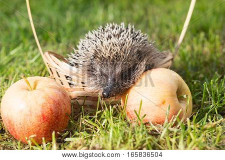 Hedgehog (lat. Erinaceus europaeus) in a small basket with apples on the grass