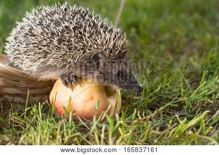 Little hedgehog ordinary (lat. Erinaceus europaeus) with an Apple on the grass in the basket