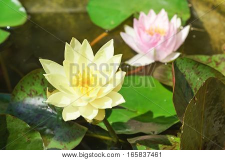 Water Lily (lat. Nymphaea) in a pond