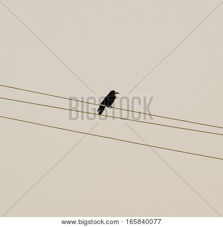 Lone Black Crow Sitting On Wires. Carrion Crow Corvids