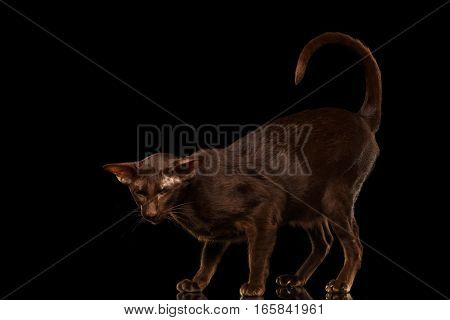 Brown Oriental Cat Standing in pose and looking down, curl tail up isolated black background, side view