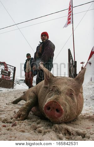Calugareni Romania December 20 2009: A pig is sell in an animal market in Calugareni. Before Christmas animal breeders are selling and sacrificing their animals in animal markets.