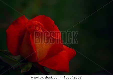 One red-orange rose on dark green background