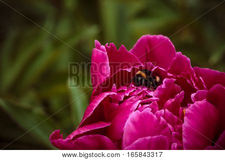 One Ordinary Bumblebee In Pink Peony On Green Background
