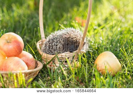 Hedgehog (lat. Erinaceus europaeus) sitting in a basket on the grass next to the apples