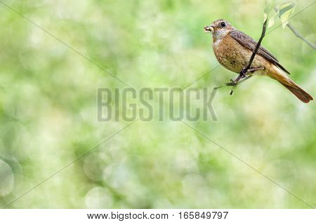 Summer natural background with a female Redstart bird sitting on a branch and holds insects in its beak. Bokeh and selective focus. Plenty of space for text.