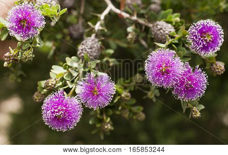 The Callistemon (Bottlebrush Tree) flowers are spherical like powder puffs purple in color with a white or yellow tip on each filament