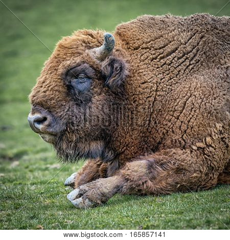 European bison (Bison bonasus), also known as wisent or the European wood bison. Close up profile portrait lying down on grass in square format