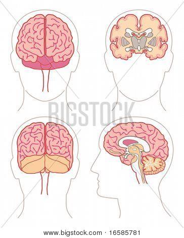 Anatomy - Brain 1
