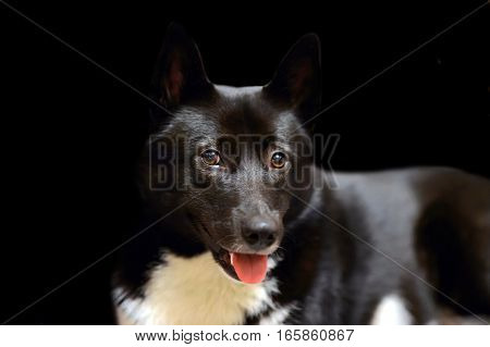 Dog Laika Russo-European black with white spots color. Beautiful hunting Husky isolated on black background. Eyes of his beloved doggy. Portrait of a pet animal dogs.