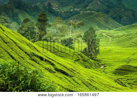 Tea plantations in the cameron highlands in afternoon light
