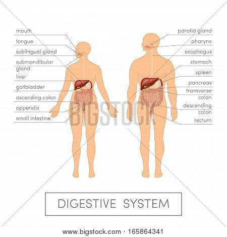 Digestive System Vector