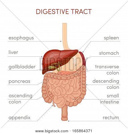 Digestive Tract Vector