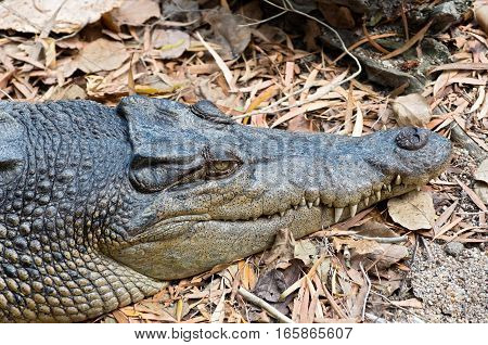 saltwater crocodile or crocodylus porosus closeup of head and snout with teeth protruding from jaws
