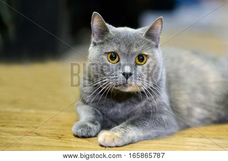 The yellow eyes of the British cat. Furry gentle creature kitten of a tortoise color. Portrait home pet cats.