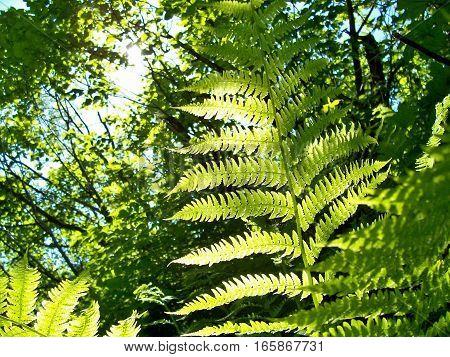 Vivid green sunlit leaves on a spring or summer day. Background of backlit fern in the park