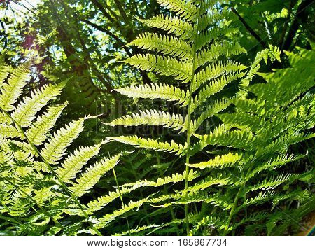 Upclose of sunlit fern on a sunny spring or summer day. Bright green plant with backlit leaves for background with copy space.