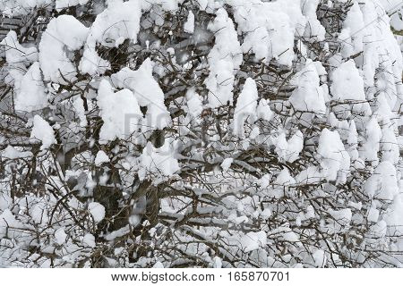 Snow piled up in zelkova tree twig