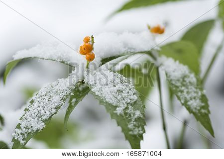 Snow piled up Senryo(Chloranthus glaber Makino) leaves and yellow fruit