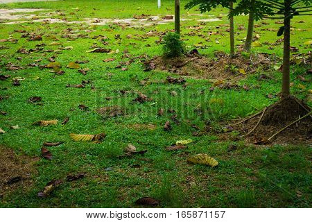 Fallen dry leaves on the ground in a garden photo taken in Depok Indonesia java