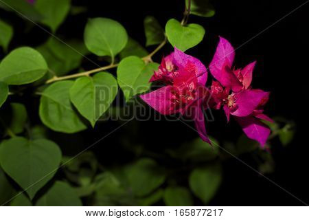 Beautiful plant with leaves and flowers purple green and black background. Bougainvillea in black background.