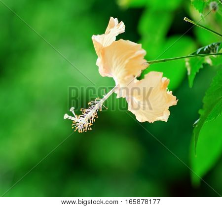 Hibiscus Flower In Garden On Nature Background