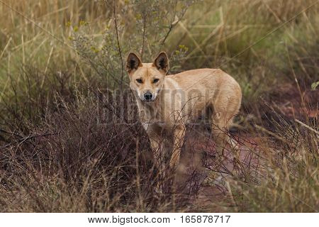 A wild dingo wanders through scrub in the Australian outback. Uluru Kata Tjuta National Park, Northern Territory, Australia.