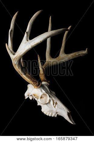 Close Up of Deer Skull on Black Background Side View