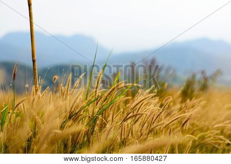 Image Of Golden Grass Field, Natural Background