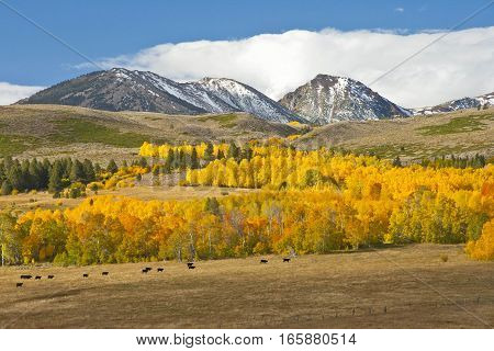 Aspen groves in full Fall colors backed by snow-capped peaks with cows in foreground.