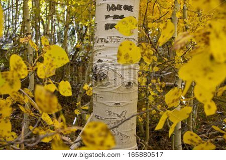 Single Aspen trunk surrounded by yellow leaves.