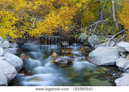 Mountain river flowing over rocks, framed by Aspen trees with yellow leaves during the Fall.
