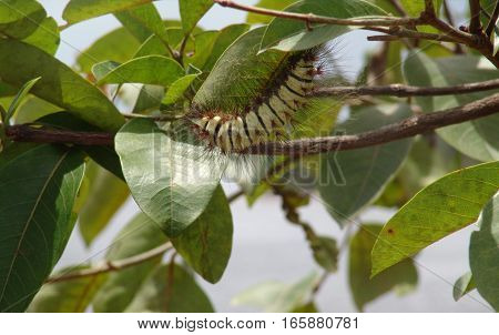 A beautiful green caterpillar with hair on a tree,