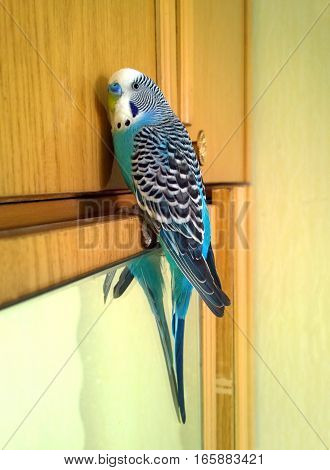 Home wavy parrot with blue plumage sits on top of the cabinet