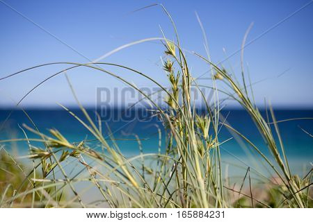 Close up macro photograph of sea grass on sand dunes with a stunning blue water backdrop. Perth, Western Australia.