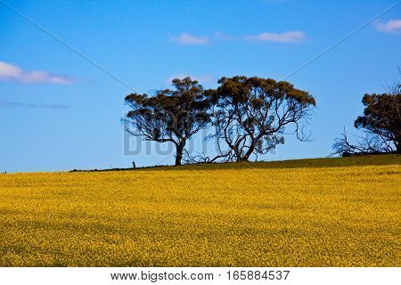 Canola (Rapeseed) field near the country town of York, about an hour drive from Perth city, Western Australia, Australia.