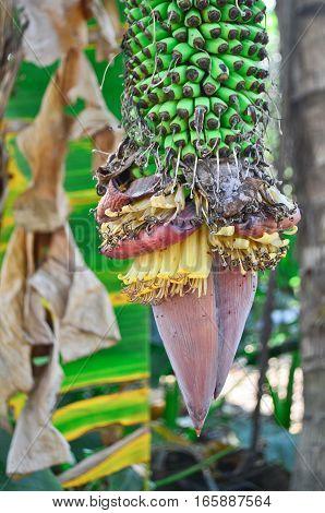 Fresh banana blossom on banana tree in the garden