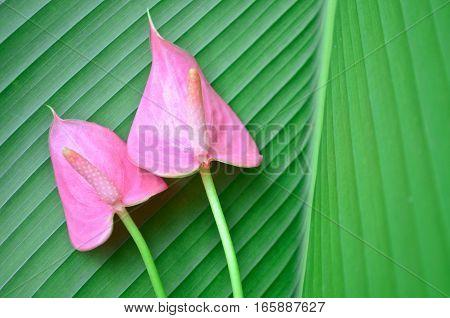 Fresh pink flamingo flowers on green leaf