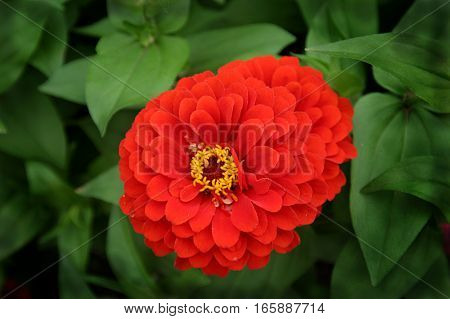 Flower with brilliant red petals set against green leaves
