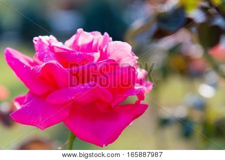 Close up Beautiful pink rose in a garden