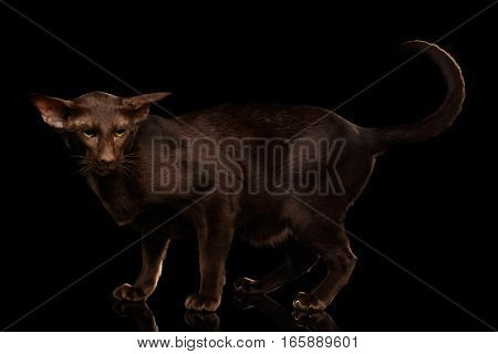 Brown Oriental Cat Standing in pose and looking angry, curl tail up isolated black background, side view