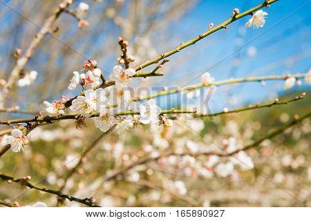 White Peach Blossom Flower, Plum Flower Or Peach Tree