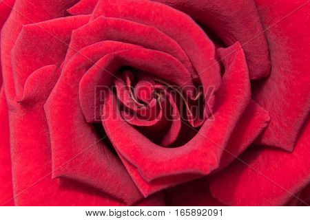 beautiful close up red rose, red rose background