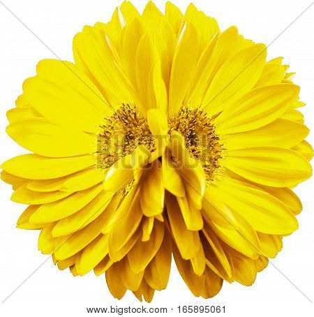 gerbera flowers yellow. Closeup. beautiful two flower. black background. Nature.